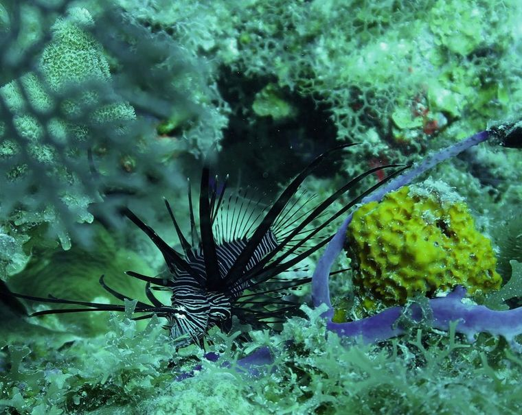 THE BIG DOG Yacht Charter - Lionfish at Black Forest Dive site