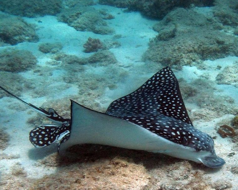THE BIG DOG Yacht Charter - Spotted Eagle Ray