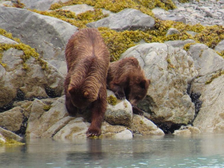 Snow Goose Yacht Charter - Up front views of brown bears are just part of the day to day experience
