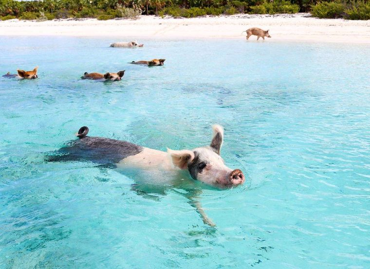 Synergy Yacht Charter - Visit the swimming pigs